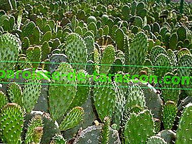 cactus pierderea de grăsime