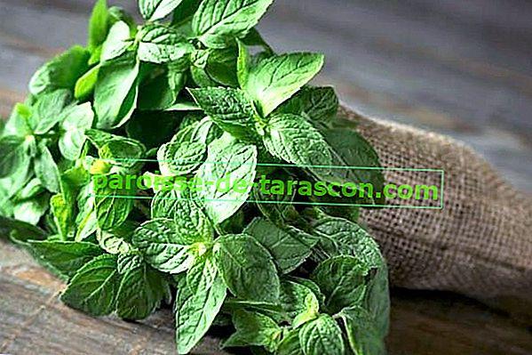 Paprena metvica: impresivne prednosti ove biljke